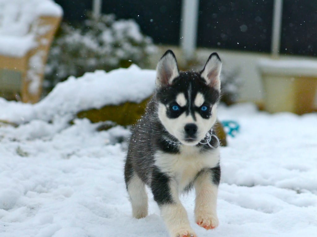 Siberian Husky Puppies In Snow 1024x768 Snowsbest