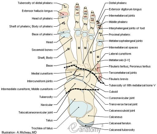 bones-joints-foot-anatomy-muscular-attachment-human-anatomy ...